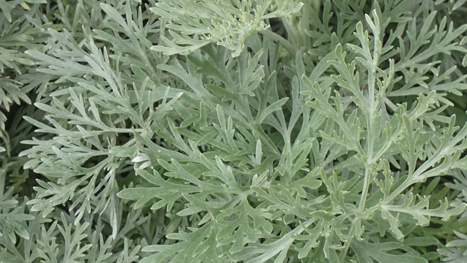 Artemisia absinthium × arborescens.