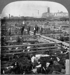 Rinder warten auf ihre Schlachtung in den Union Stock Yards im Jahr 1909.