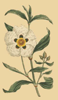 Lack-Zistrose (William Curtis, The Botanical Magazine, Vol. 4, London 1791).
