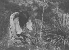 Schneiden der Agaven. Edward S. Curtis, The North American Indian, 1907.