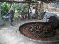Weiterverarbeitung gebackener Agaven in der Tahona.