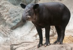 Mittelamerikanischer Tapir.