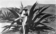 Gewinnung des Agavensaftes für die Pulqueproduktion, um 1904.