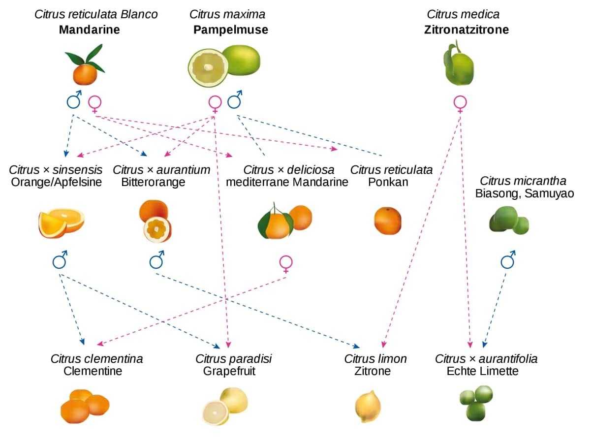 Stammbaum der Zitrusfrüchte.